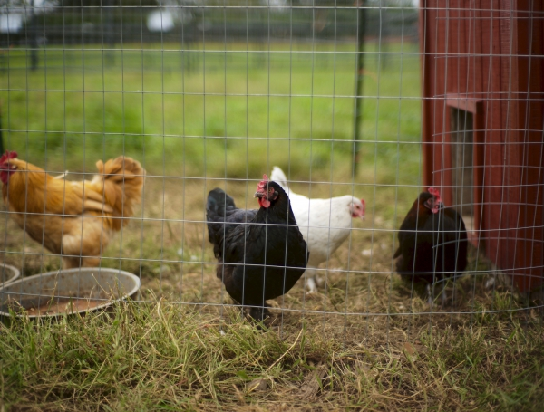 Raising Chickens:  A Noteworthy Teaching Success Through Chicken Husbandry